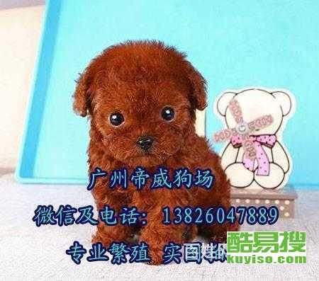 帝威狗場直銷韓系茶杯玩具微小體泰迪熊犬-保健康純種