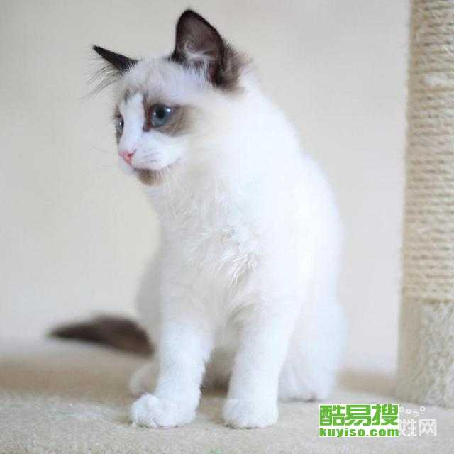 威海猫舍繁殖出售布偶猫舍双色布偶猫多少钱一只